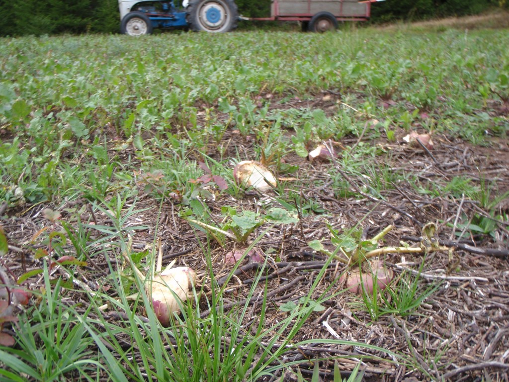 Turnips are a favorite fall treat for deer